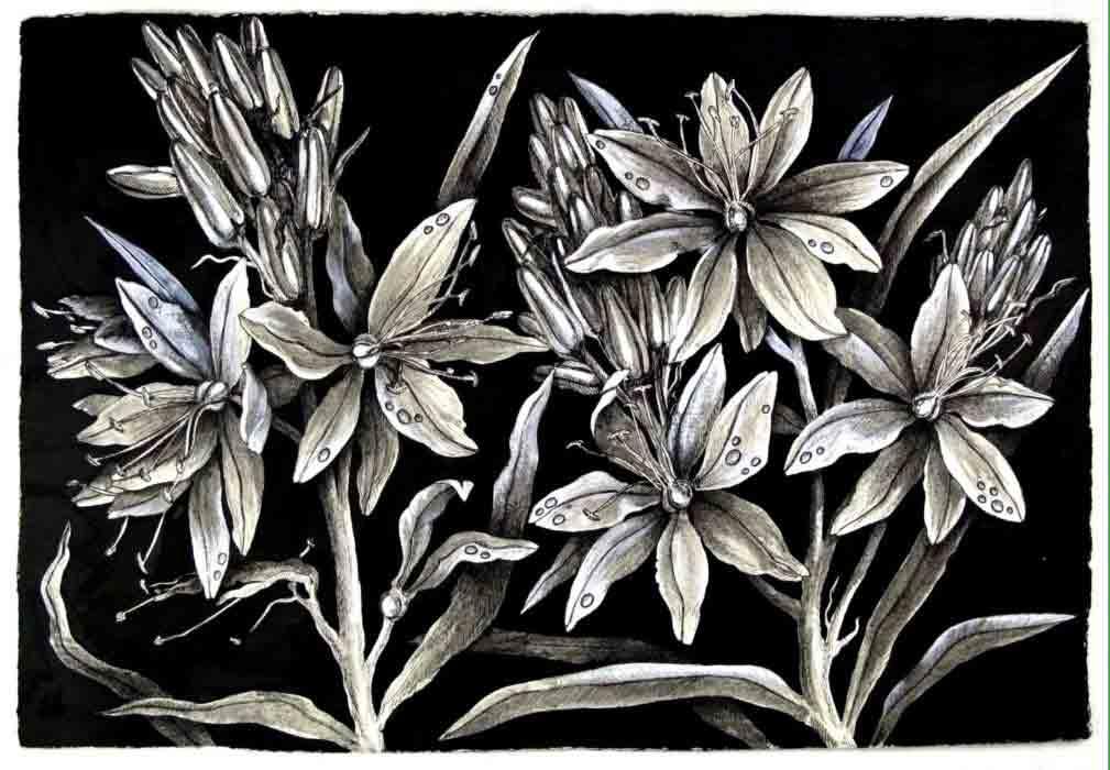 Asphodelus aestivus (flower of the dead)