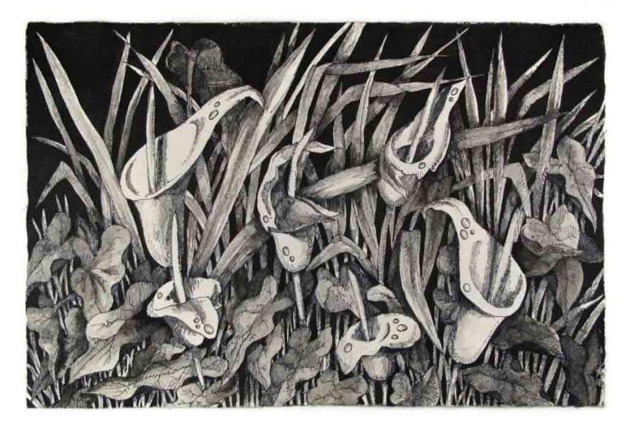 Arum Creticum Lillies